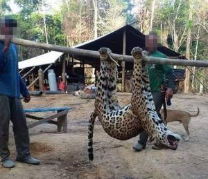 Jaguar poaching in Suriname