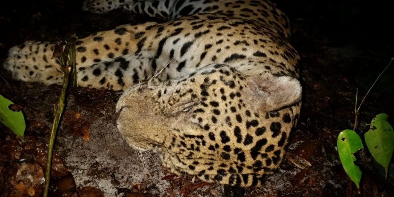 New Investigation: Jaguar Body Parts Sold Illegally for 'Traditional Medicine'