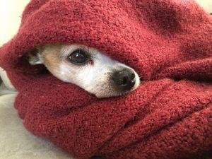 Dog snuggled in blanket