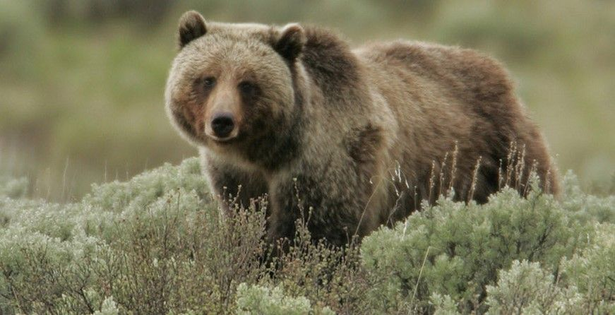 SIGN: Don't Let Trophy Hunters Kill the Yellowstone Grizzlies