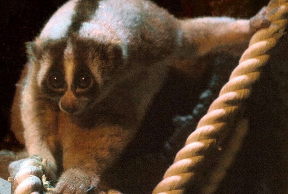 Watch 20 Rescued Slow Lorises Return Home to the Wild