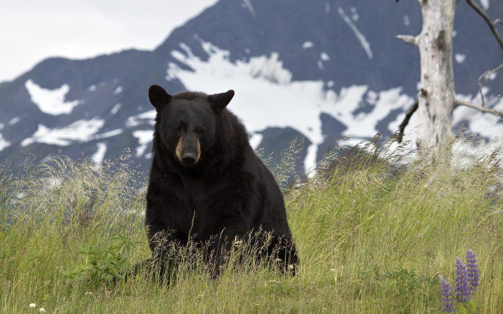 Hunter Crushed when Bear He Shot Rolls On Top Of Him