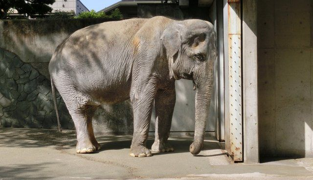 Hanako the elephant. Lady Freethinker is exposing the plight of elephants in captivity. Join now to help save these animals.