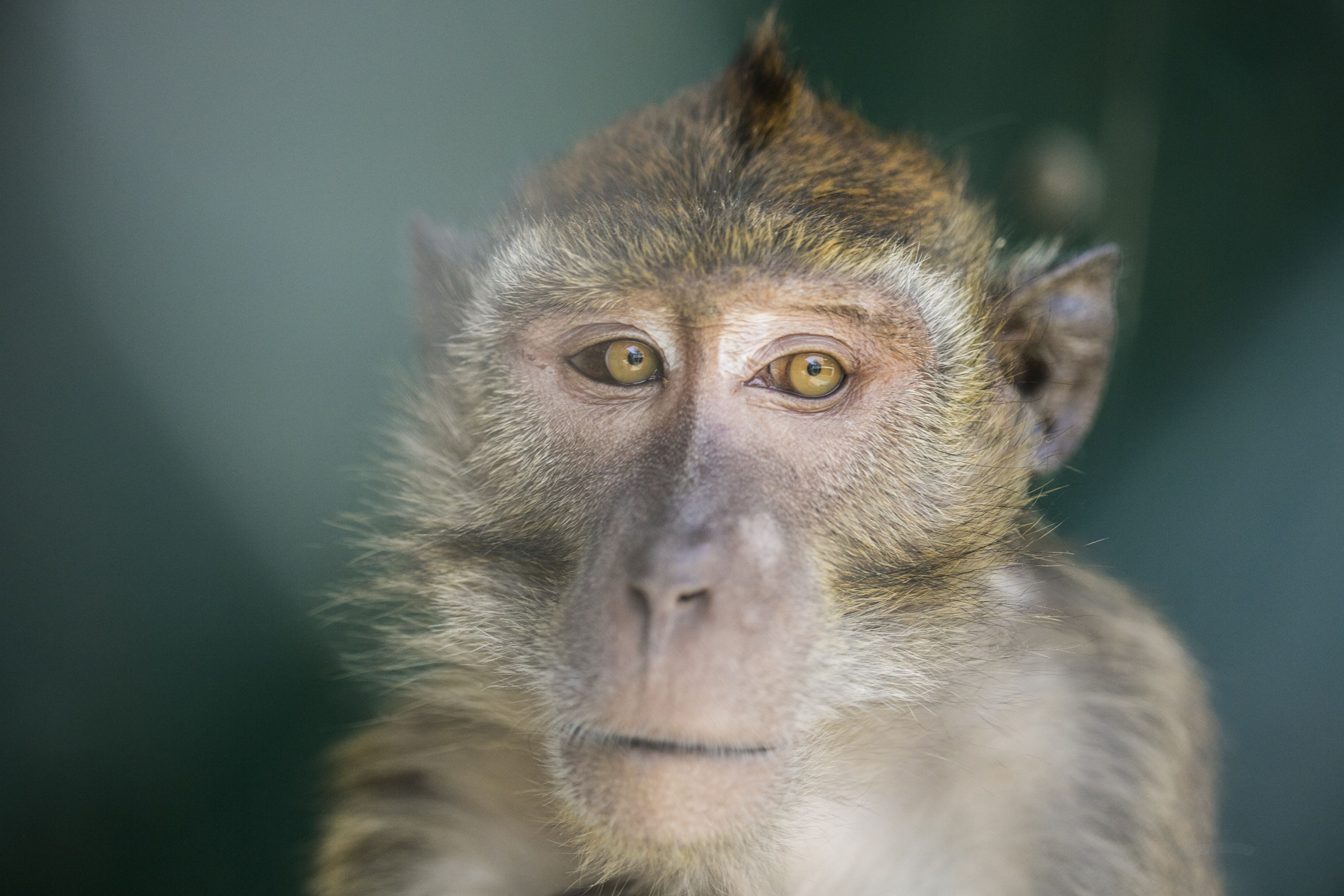 Monkeys used in research in the US