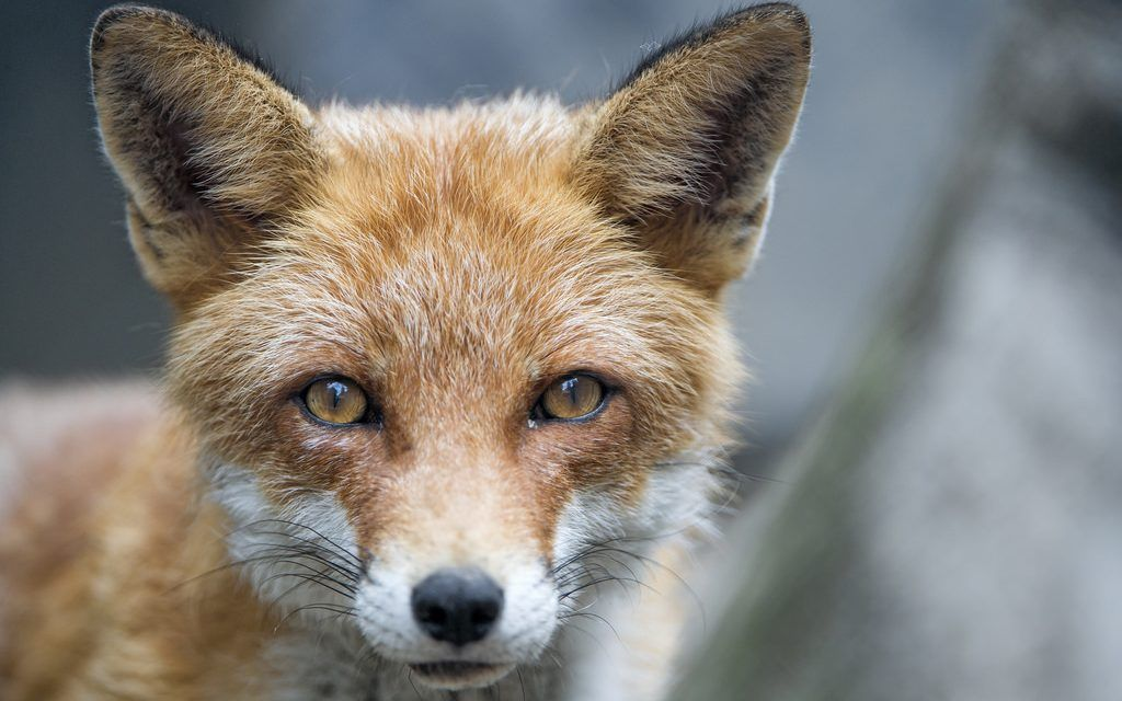 SIGN: Animals Are Skinned Alive For Fur – Help Pass CA Ban on Fur Sales