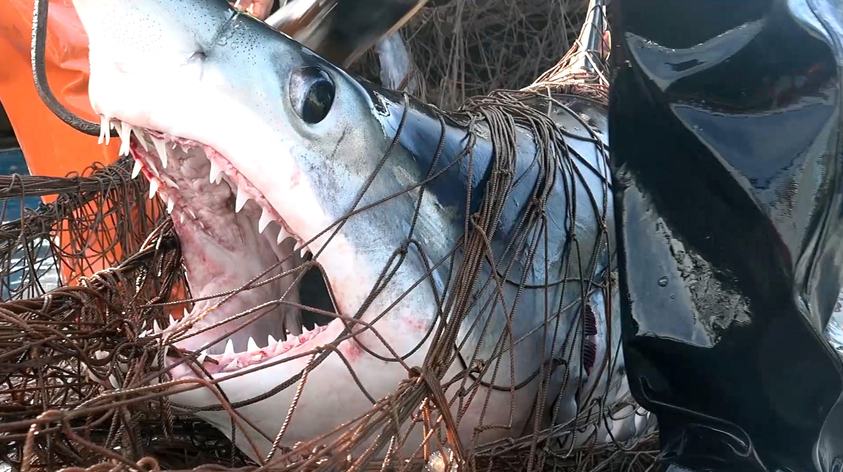 Shark killed in driftnet