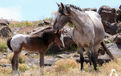 50+ Lawmakers Oppose Government Plan to Gruesomely Sterilize Utah's Wild Mares