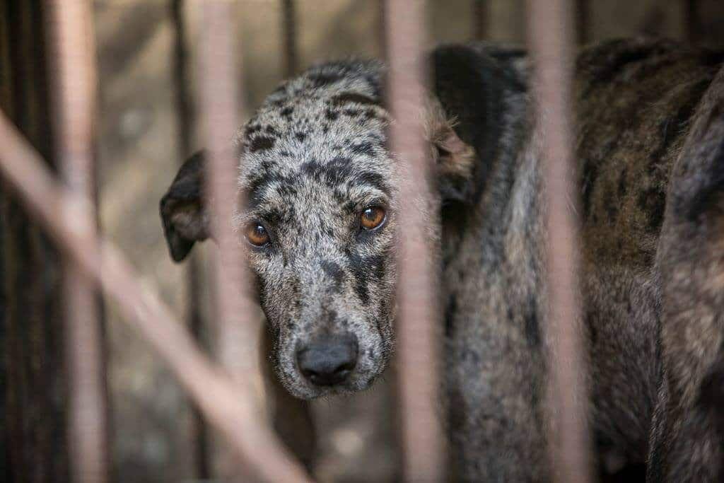dog meat farm in south korea