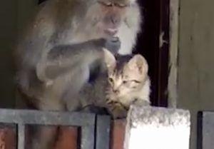 Wild monkey grooming kitten