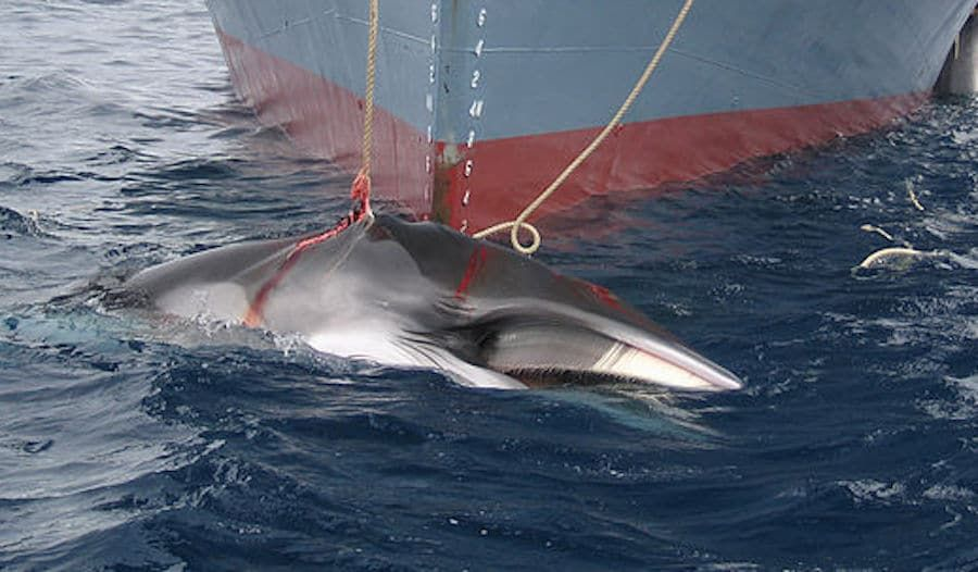 SIGN: Stop Japan's Deadly Plan to Bring Back Commercial Whaling