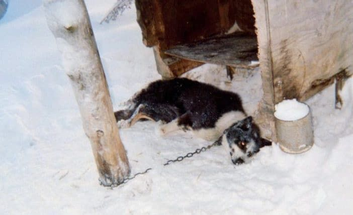 SIGN: Stop Cruelty to Dogs at the Deadly Yukon Sled Race