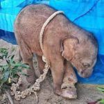 SIGN: Justice for Baby Elephant Cruelly Tied Up And Left to Die