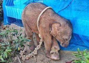 baby elephant roped up