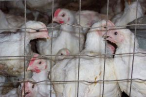 Chickens in cage