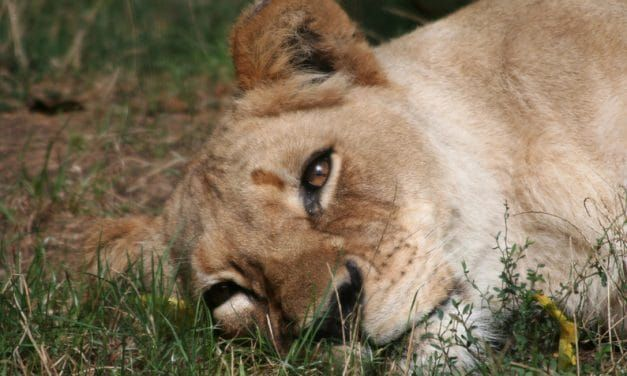 Lion Shot 8 Times After Gruesome Mauling – Sign to Stop the Bloodshed
