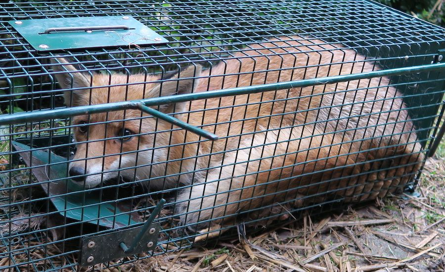 SIGN: Stop California's Cruel Animal Fur Trapping Trade
