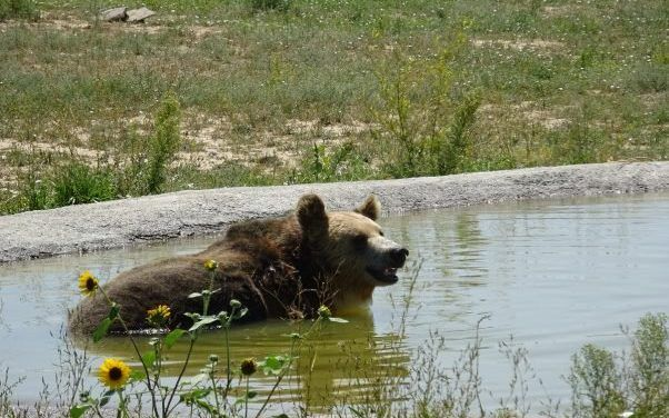 Video: Bears Rescued From Roadside Zoo Now Thriving In Sanctuary!