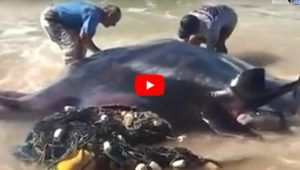 VIDEO: Heros Save Giant Manta Ray Tangled in Fishing Net