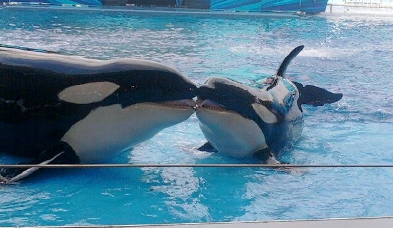 Kayla Becomes 42nd Orca to Die in Captivity in SeaWorld