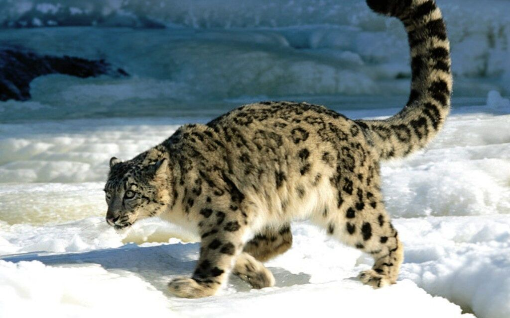 These Former Poachers Gave Up Killing to Shoot Snow Leopards with Cameras, Instead