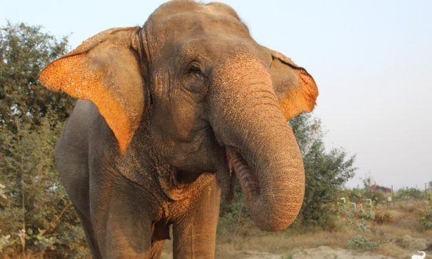 Former Street Begging Elephant Celebrates Rescue Anniversary!