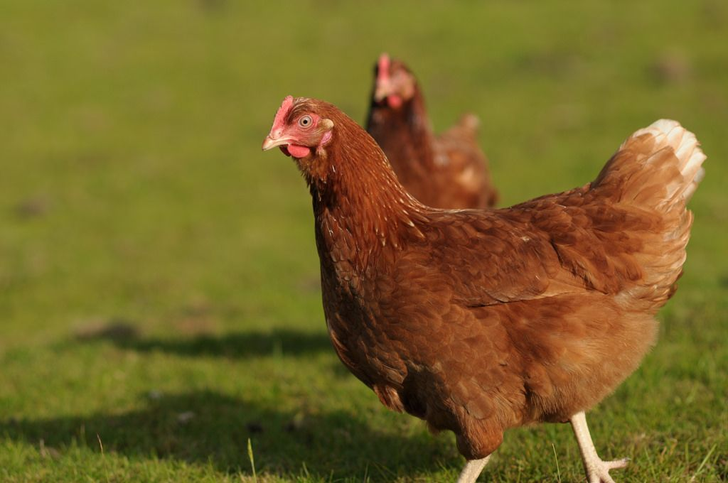 Free ranging hens