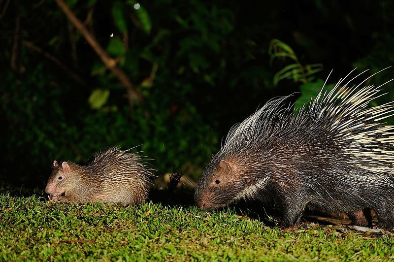 Porcupines Poached for Chinese Medicine at Risk of Becoming Endangered