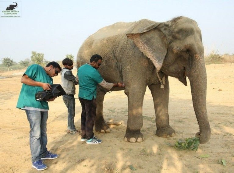Elephant Holly is tended to by staff at Wildlife SOS Elephant Hospital, the first hospital of its kind in India.