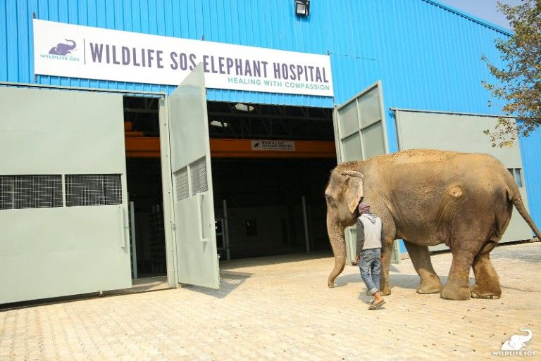 An elephant is escorted into the Wildlife SOS Elephant Hospital. Get involved at Lady Freethinker to save animals in need.