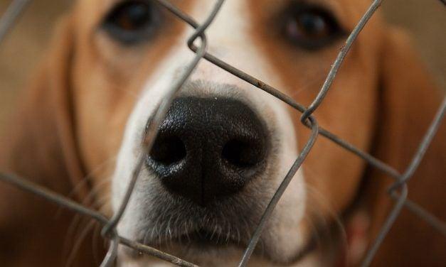 36 Beagles Held Captive After Cruel Pesticide Experiment
