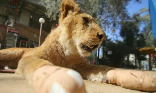 Huge Rescue: Over 40 Animals Evacuated From War-Torn Gaza Zoo
