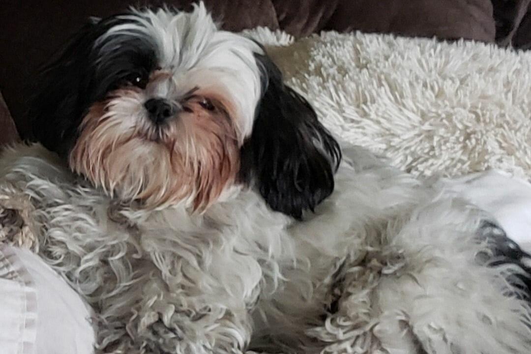 Leia the Shi hTzu dog poisoned in Las Vegas