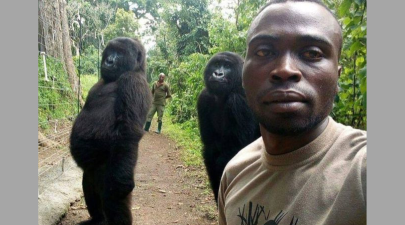 Rescued Gorillas Pose for Selfies with Anti-Poaching Rangers in the Congo
