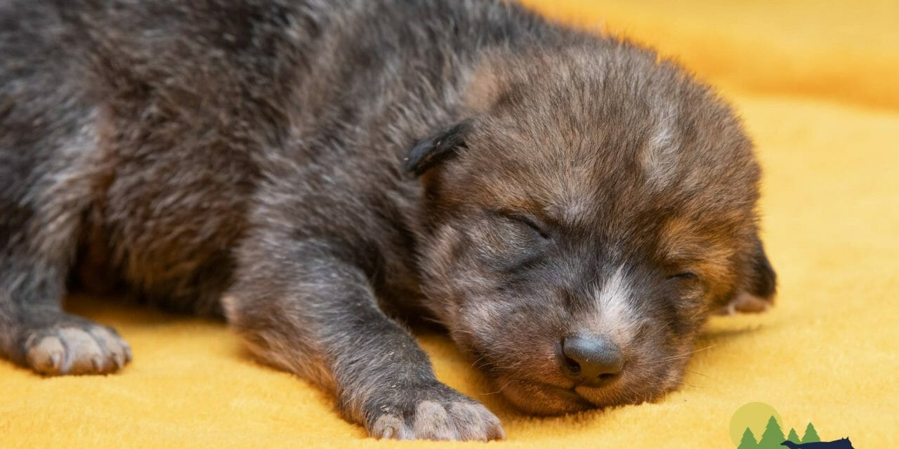 Captive-Born Wolf Pups Get the Chance to Grow Up Free and Help Save their Species
