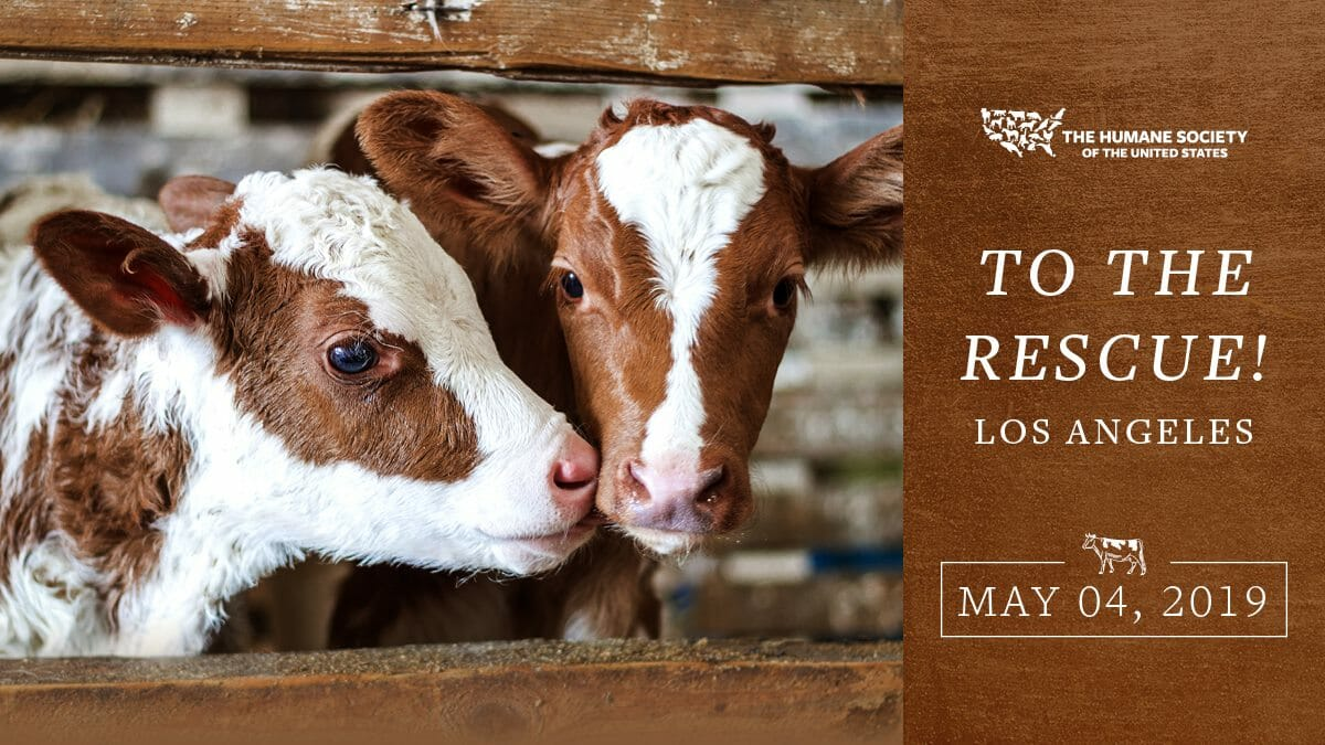 Two cows stand next to each other. Promotional image for To the Rescue! Los Angeles. Learn more at Lady Freethinker.