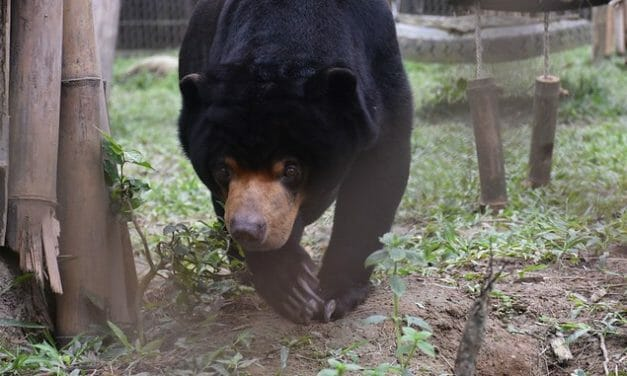 Sweet Video: Rescued Sun Bear Makes First-Ever Friends