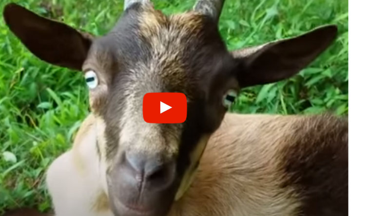 Hopie the goat close-up