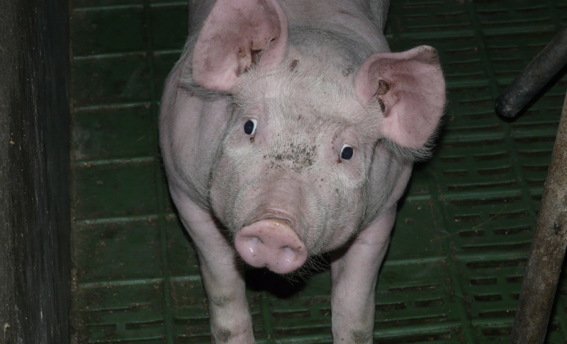 piglet in stall