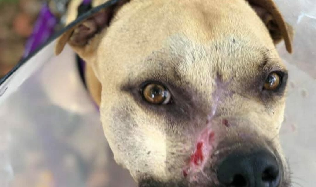 Abused 'Bait Dog' Found with A Third Of Face Missing Is Making a Beautiful Recovery