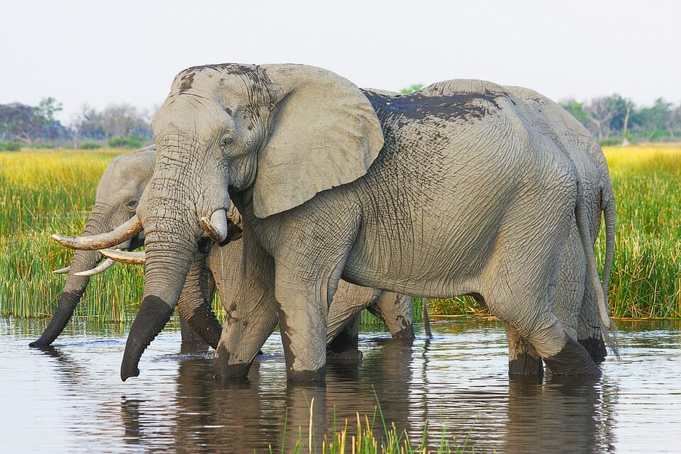 African elephants at a watering hole