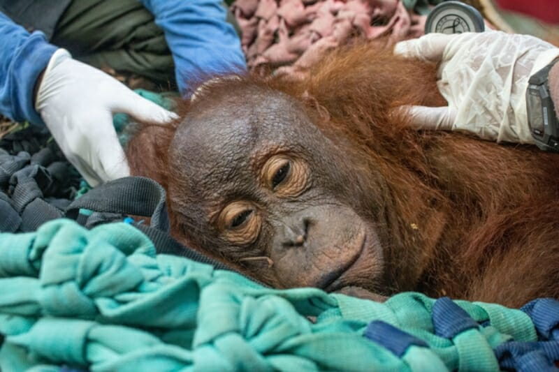 Rescuers Save Young Orangutan Stranded in Sugar Cane Field