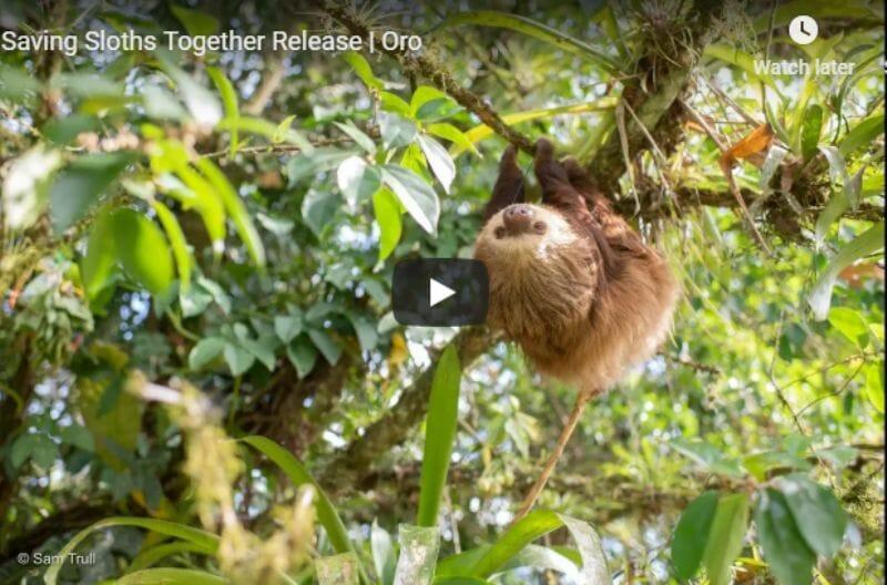 Oro the sloth