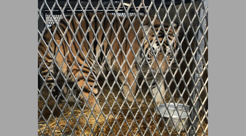 UPDATE: Cruelty Charges Filed Against Woman Who Kept Tiger in Tiny Cage in Garage