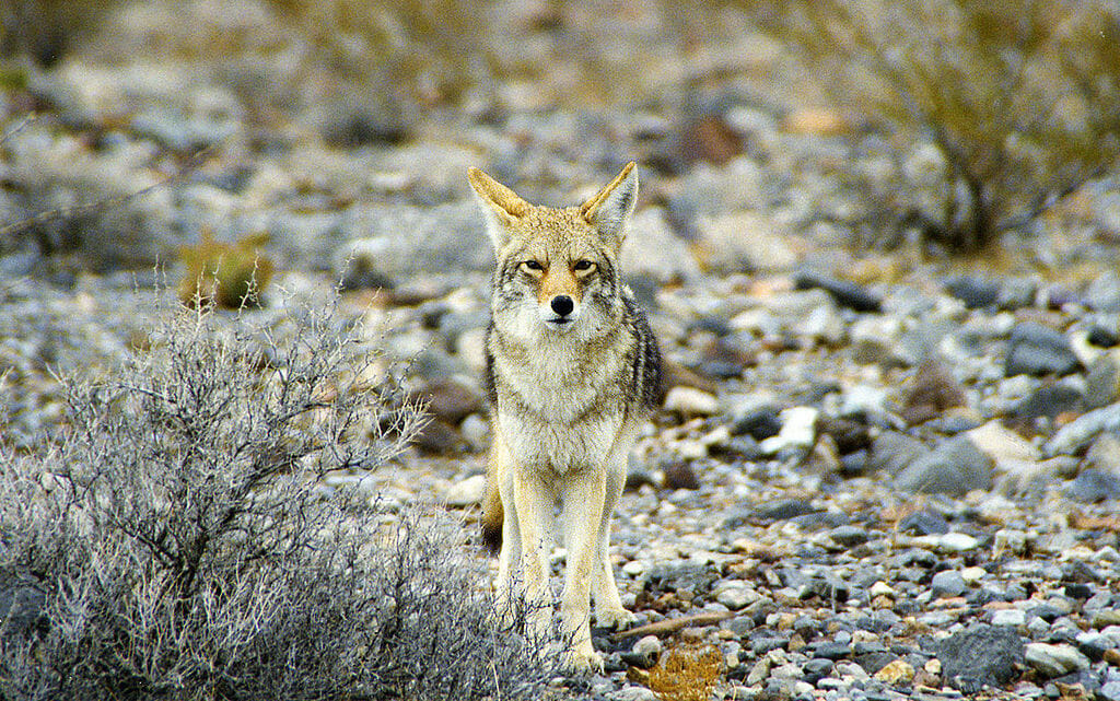 california coyote