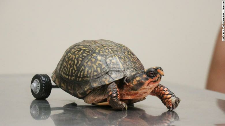 Vets built Pedro the Turtle, who lost his rear legs, a special wheelchair to help him get around. Learn more at LFT.