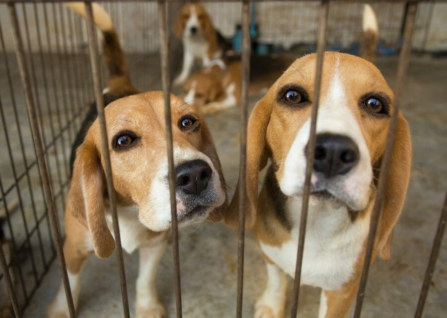 SIGN: Stop Cruel Puppy Mill from Selling Dogs to Medical Research