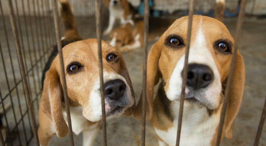 beagles cage