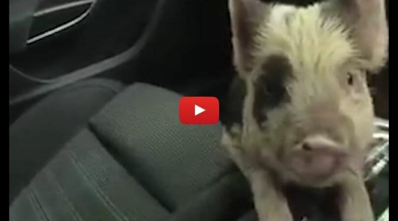 piglet in police car