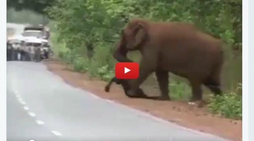 Adult elephant carrying dead baby elephant