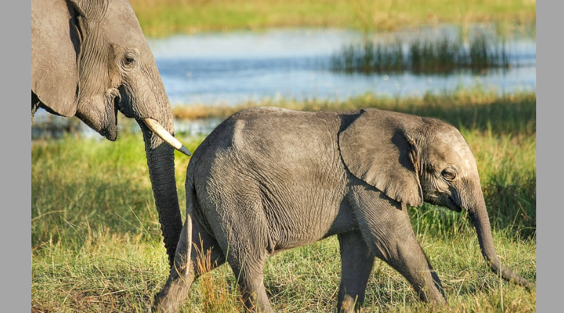 Good News! Elephant Poaching is Down As Ivory Demand Declines